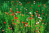 meadow with poppies / Papaver rhoeas