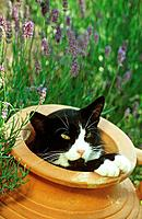 domestic cat in clay jug