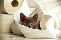 Carthusian kitten _ lying between toilet paper