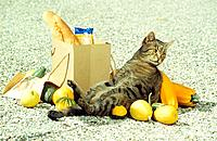 tabby domestic cat lying next to shopping bag _ between pumpkins