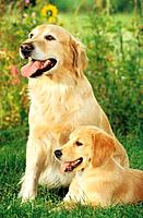Golden Retriever with puppy on meadow