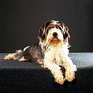 Petit Basset Griffon Vendeen _ lying _ cut out