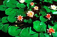 pond with different water lilies