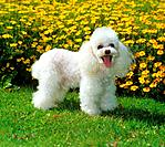 white toy poodle _ standing on meadow _ in front of flowers