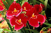 orchid  Miltonia Red Tide  _ blossoms