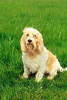 Grand Basset Griffon Vendeen _ sitting on meadow