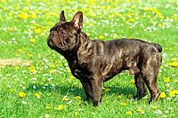 French Bulldog _ standing on meadow