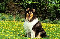 Collie _ sitting on meadow