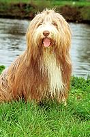 Bearded Collie _ sitting on meadow