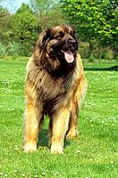 Leonberger _ standing on meadow