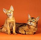 Abyssinian cat with kitten