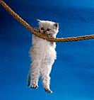 Persian kitten _ hanging on rope
