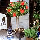 chinese hibiscus