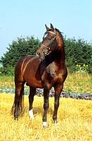 Hanoverian _ standing on stubble field