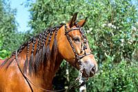 Welsh Cob _ portrait