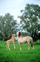 Konik and foal on meadow