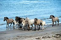 Koniks and foals at the beach