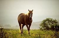 Finnhorse on meadow
