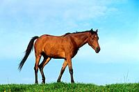 Young Welsh Pony on meadow (thumbnail)