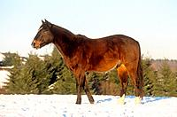 Polo Pony _ standing in snow