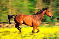 German warmblood horse _ galloping