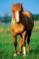 German warmblood horse _ standing on meadow