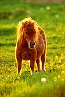 Shetlandpony - standing on meadow (thumbnail)