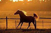 Arabian horse on meadow - sunset (thumbnail)