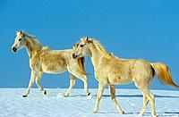 two young Arabian horses _ walking in snow