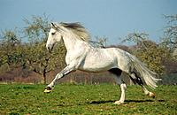 Orlov trotter _ galloping on meadow