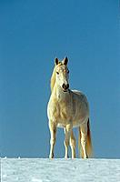 Arabian horse - standing in snow (thumbnail)