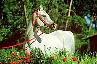 Arabian horse _ standing between poppies