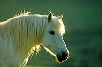 Welsh Pony _ portrait