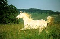 Shagya Arabian horse on meadow