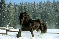 Friesian horse _ walking in snow