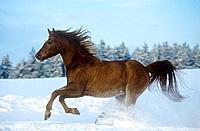Arabian horse _ galloping in snow