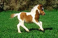 Shetland pony _ foal on meadow