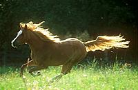 Shagya Arabian horse _ galloping on meadow