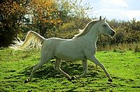 thoroughbred Arabian horse _ trotting on meadow