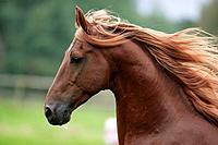 American Saddlebred _ portrait