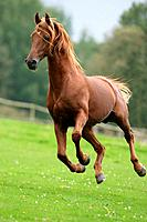 American Saddlebred _ galloping on meadow