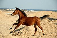 Arabian horse _ foal in sand