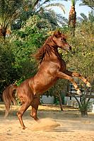 Asil Arabian horse _ rearing