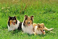 two Collies and puppy _ lying on meadow