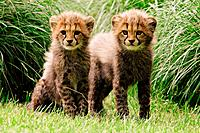 cheetah _ two cubs on meadow / Acinonyx jubatus