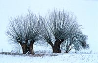 willows in snow