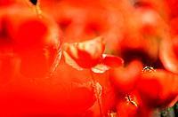 poppies / Papaver rhoeas