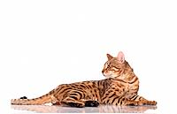 Bengal cat _ lying _ cut out