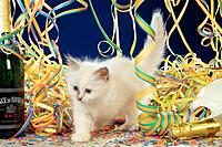 Sacred cat of Burma _ kitten between paper streamers