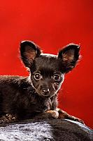 Toy Terrier puppy _ lying _ cut out